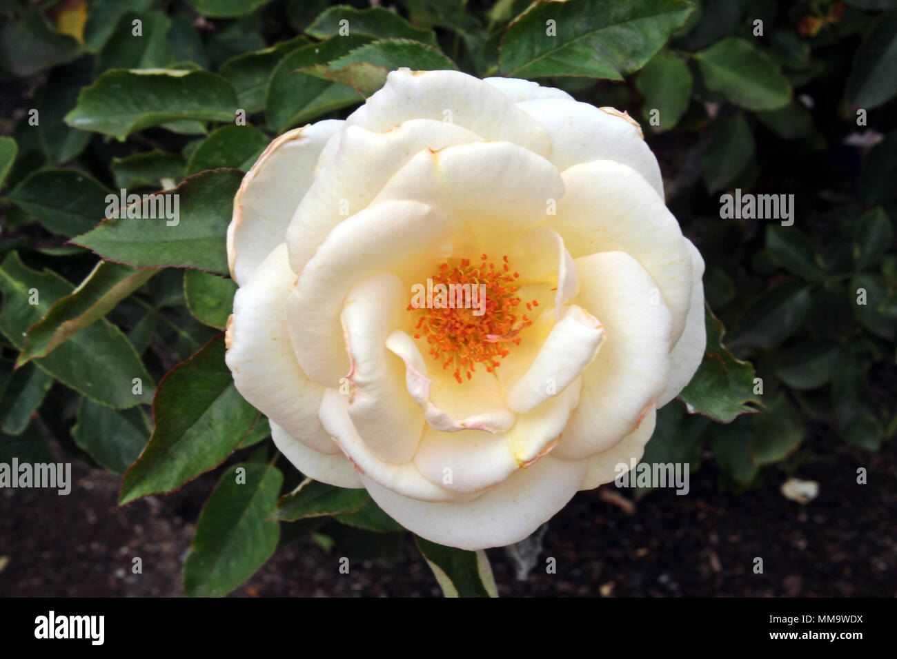 Close Up Of A White Jacqueline Du Pre Rose In Full Bloom At The Inez