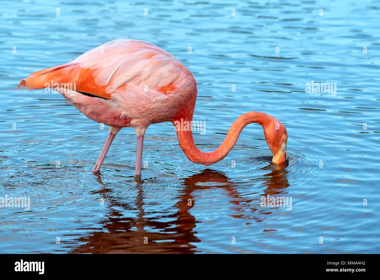 Flamingo (Phoenicopterus ruber) in a lagoon on Isabela Island, Galapagos Islands, Ecuador. - Stock Image