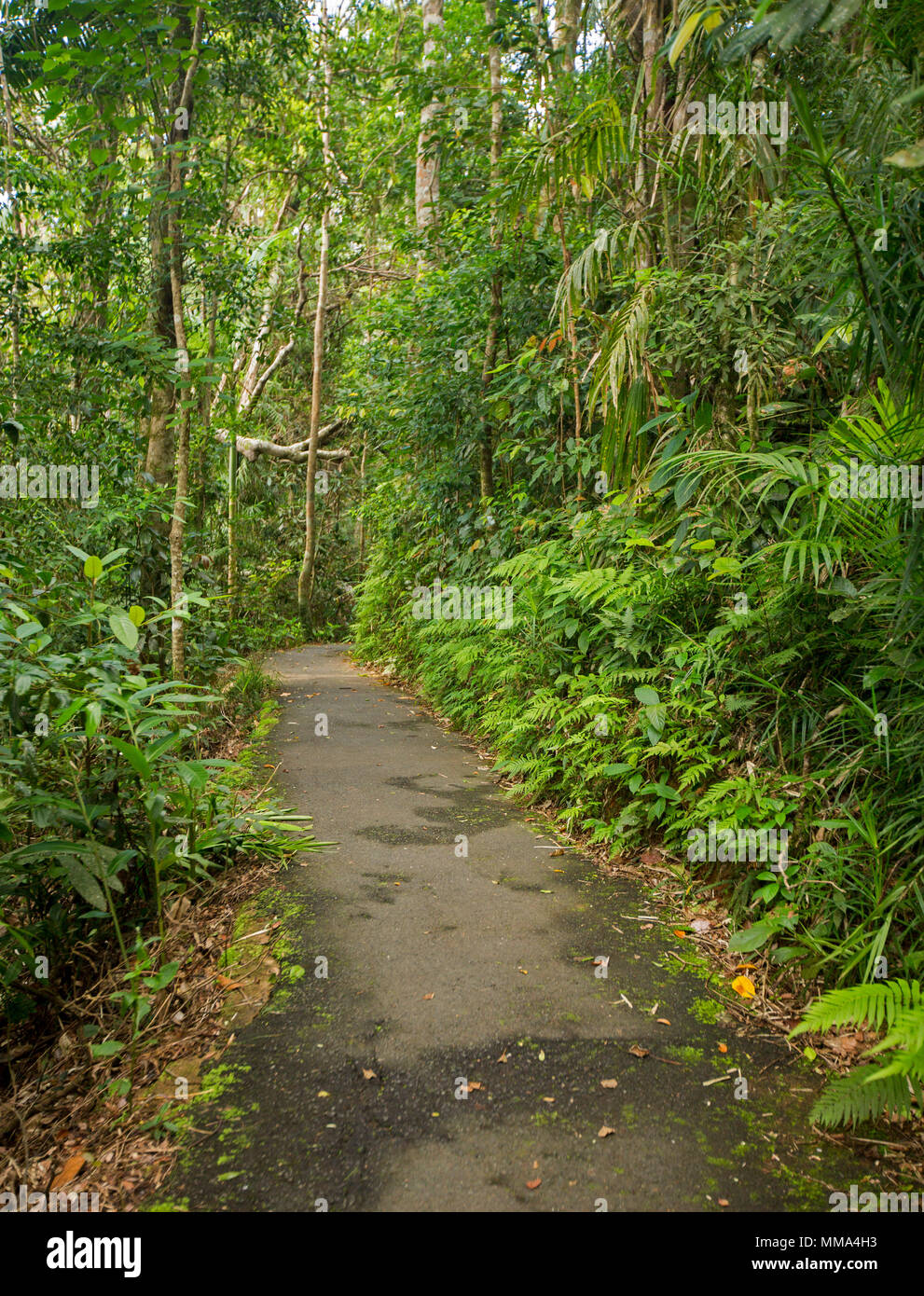 Walking track through dense emerald green vegetation of rainforest in Eungalla National Park Queensland Australia - Stock Image