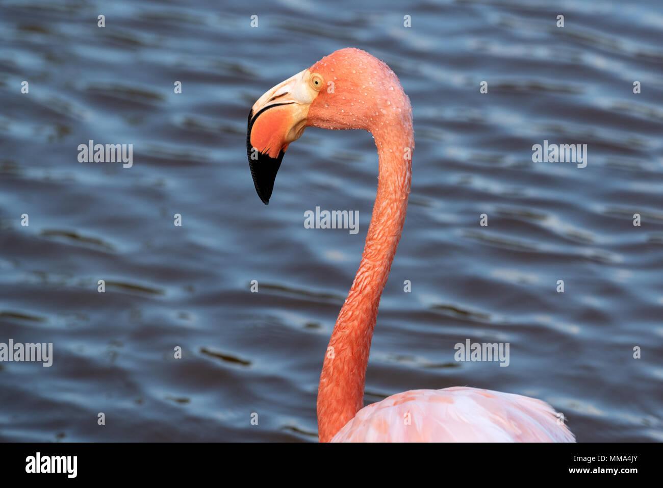 Flamingo (Phoenicopterus ruber) in a lagoon on Isabela Island, Galapagos Islands, Ecuador. Stock Photo