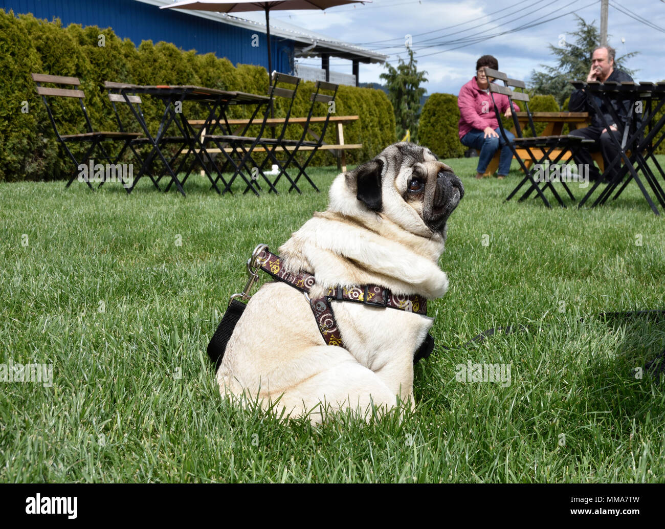 A happy pug concentrates hoping to get a chip from his owner as patrons of an outdoor restaurant look on. - Stock Image
