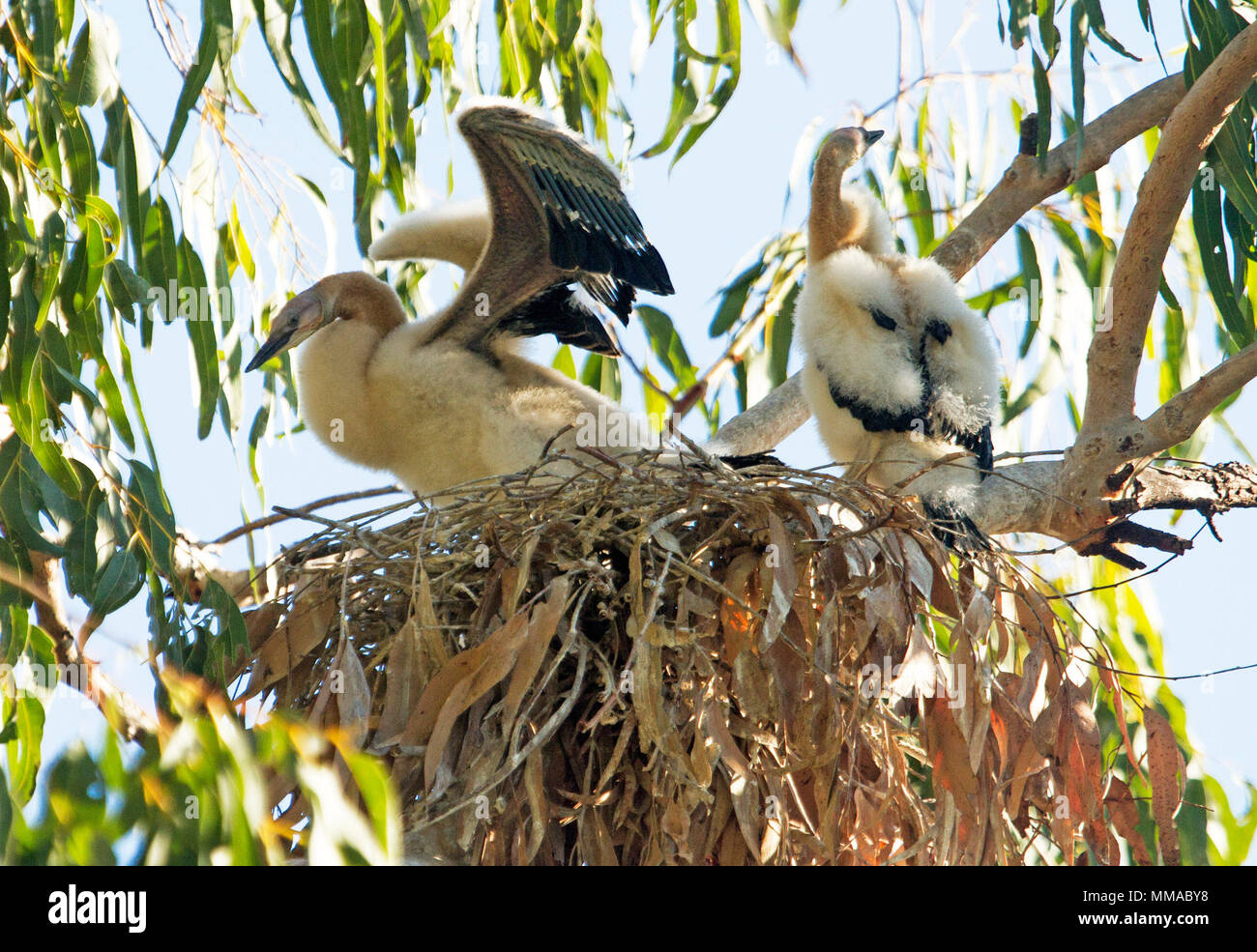 Two white and fluffy snake-necked darter chicks, one with wings outstretched, on nest in tree at Hood's lagoon in outback town in Queensland Australia - Stock Image