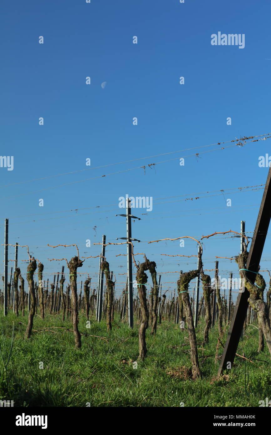 Vineyard in the sunrise Stock Photo