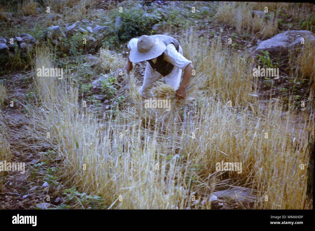 Rice Harvest Korea 1953 Stock Photo