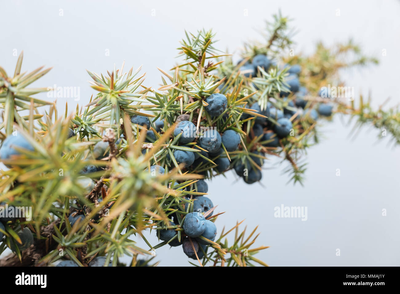Close up of a branch of wild juniper (Juniperus Communis), filled with many purple berries. - Stock Image