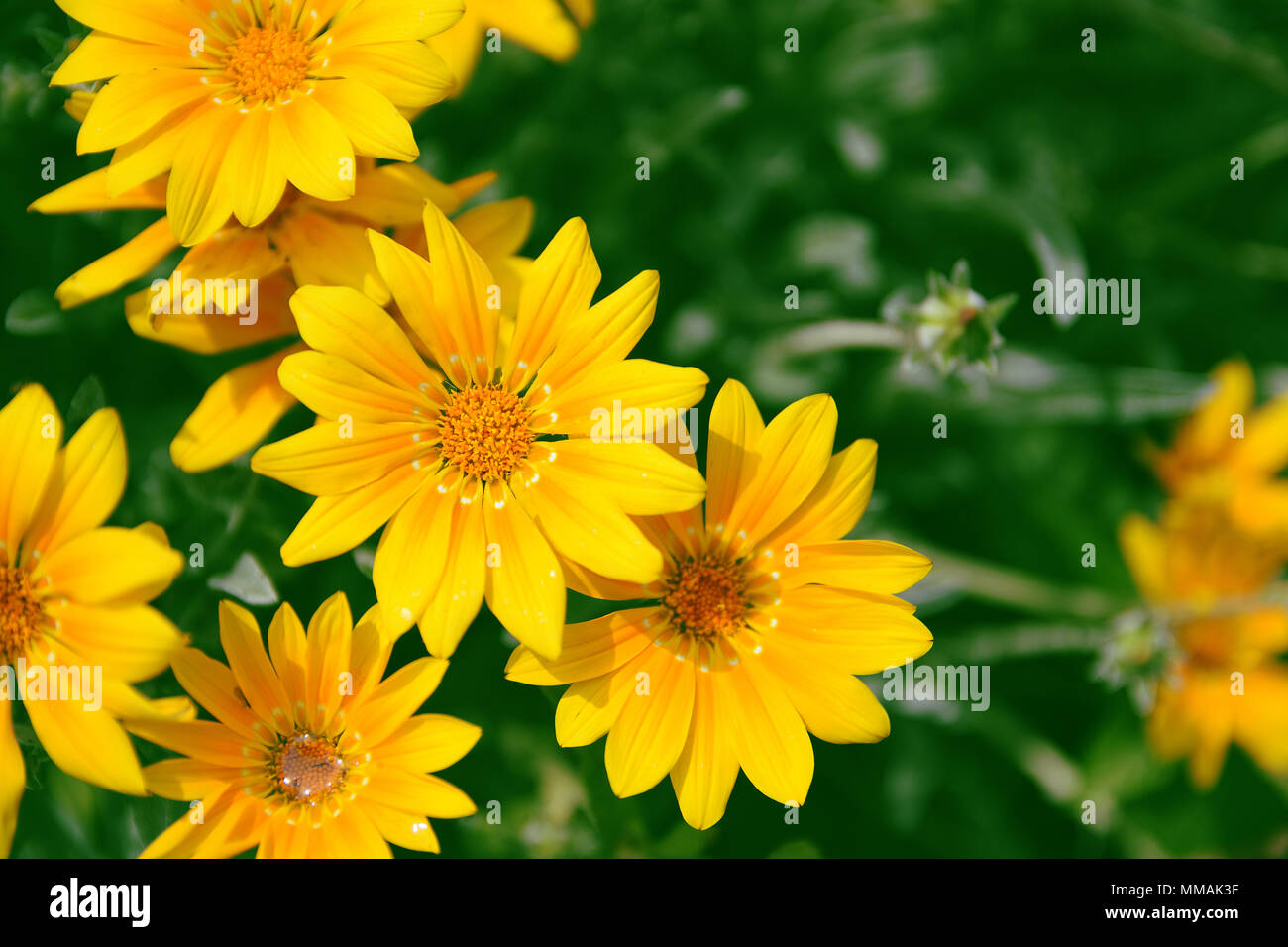 Yellow Marguerites And Dysies Against A Green Natural Background Empty Copy Space For Editor Text Stock Photo Alamy