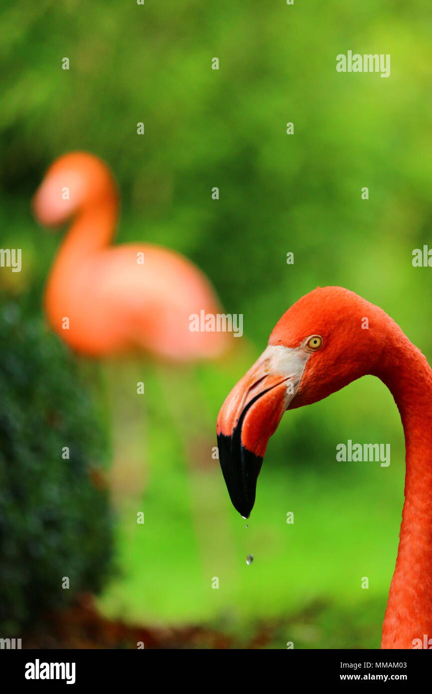 Close up profile of a flamingo's head with drop of water falling from beak the background is predominantly green with a full flamingo silhouette - Stock Image