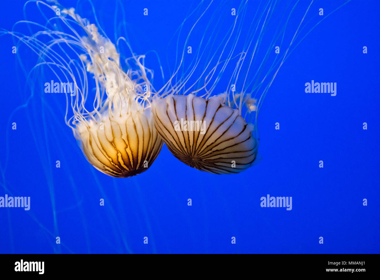Two beautiful and graceful Sea Nettles swimming in blue water. - Stock Image
