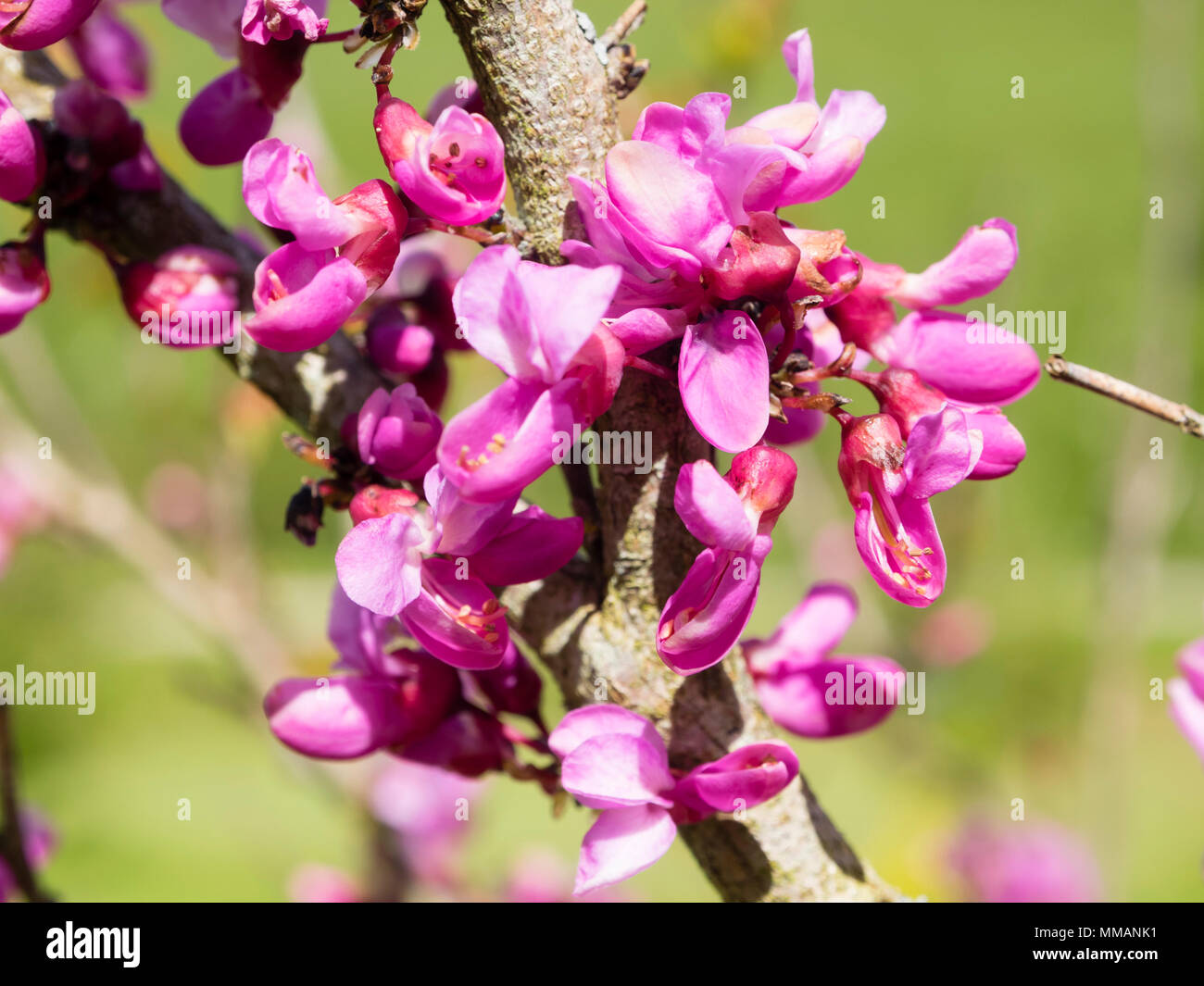 Bright Pink Flowers Emerge From Bare Spring Stems Of The Chinese Red