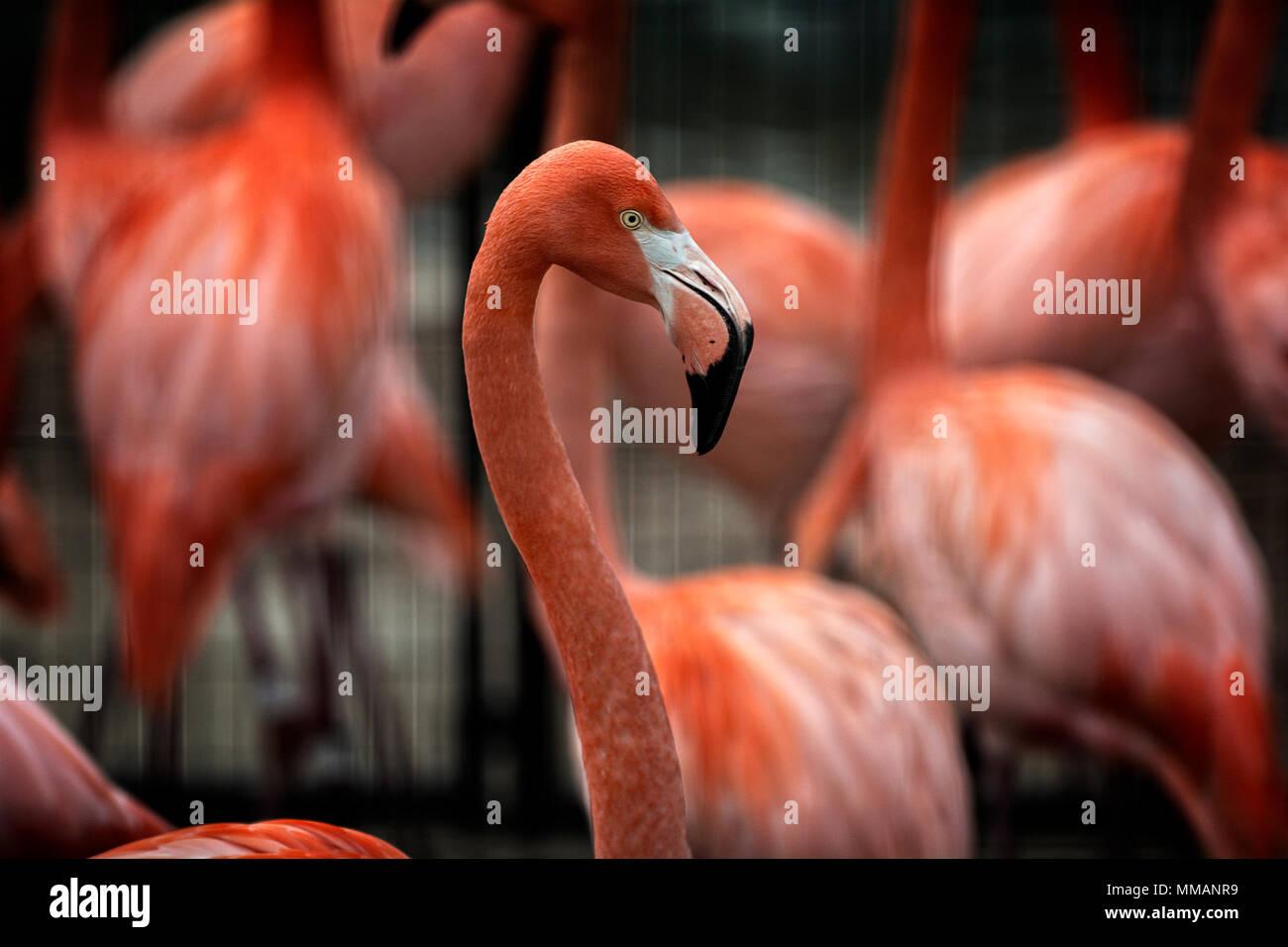 An elegant Flamingo bird standing in a flock. - Stock Image