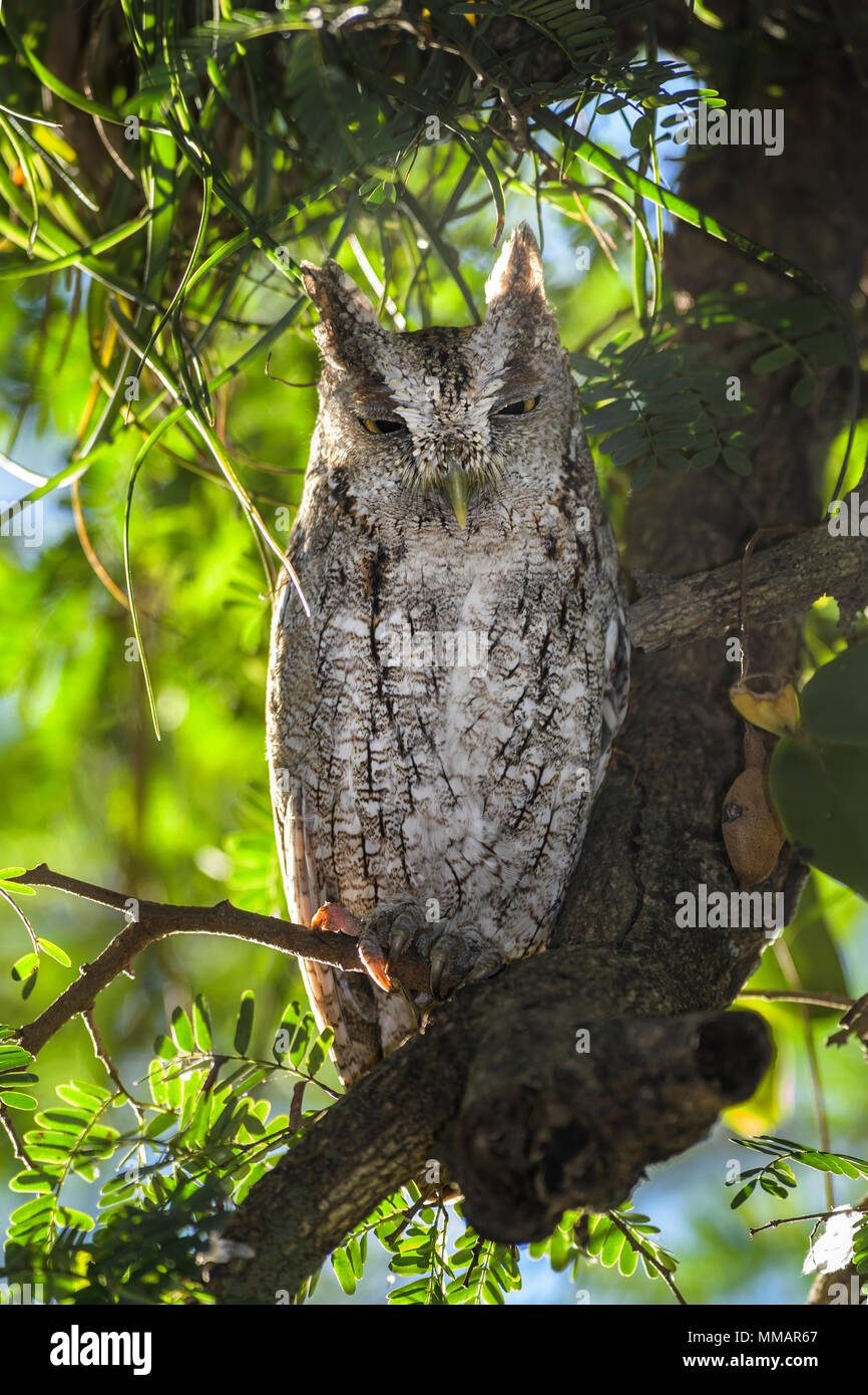 Pacific Screech-Owl - Megascops cooperi, beautiful owl from Central  America forests, Costa Rica. - Stock Image