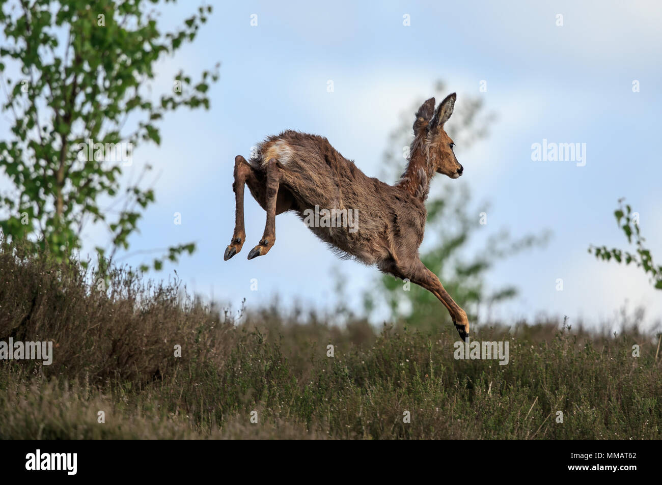 A Roe deer hind leaping while running - Stock Image