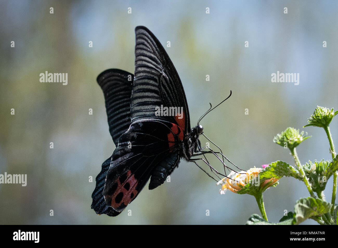 Black butterfly with red spots feeding on nectar - Stock Image