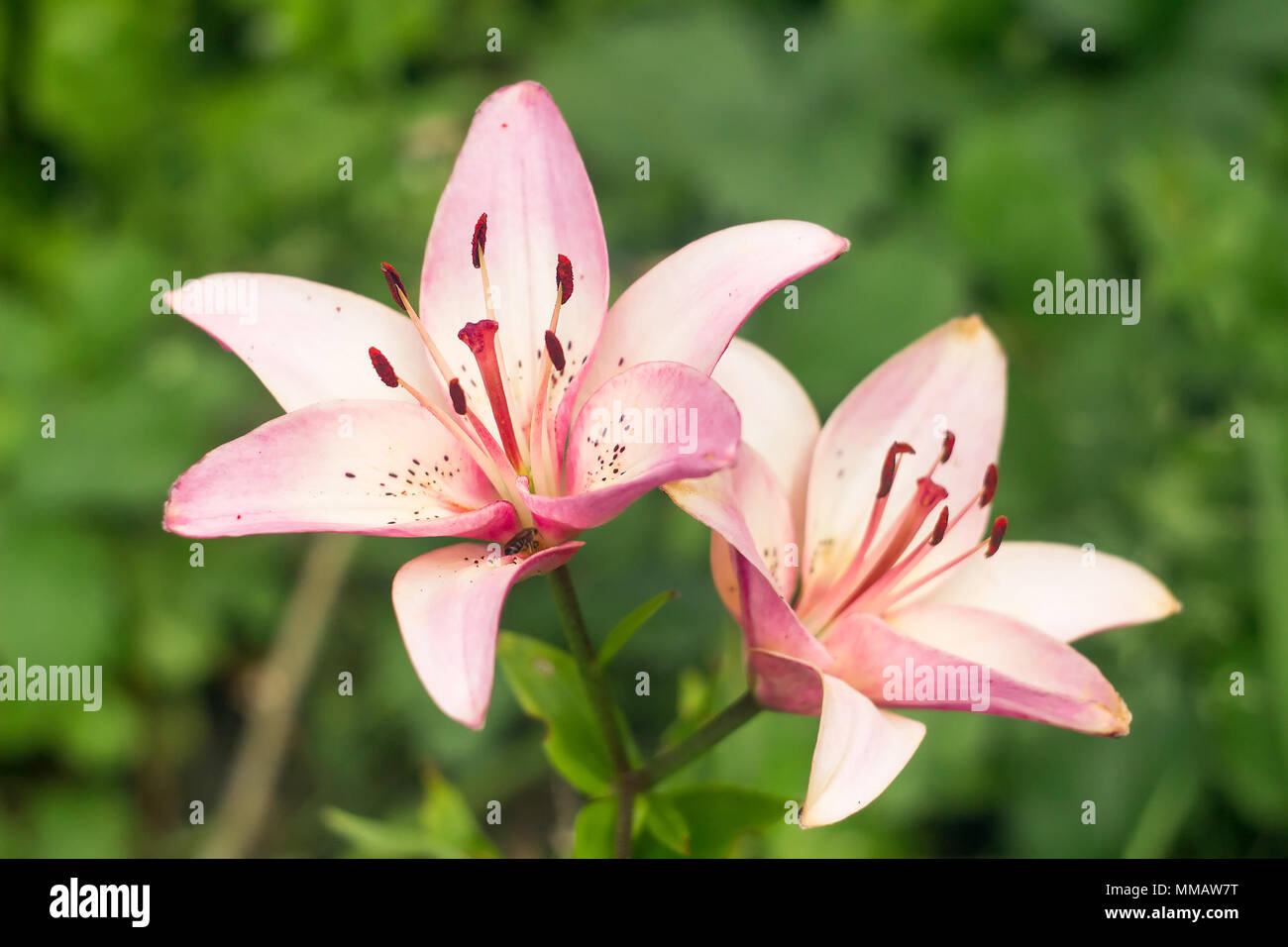Two dark pink lily flowers stock photos two dark pink lily flowers two pink lilies against green grass stock image izmirmasajfo
