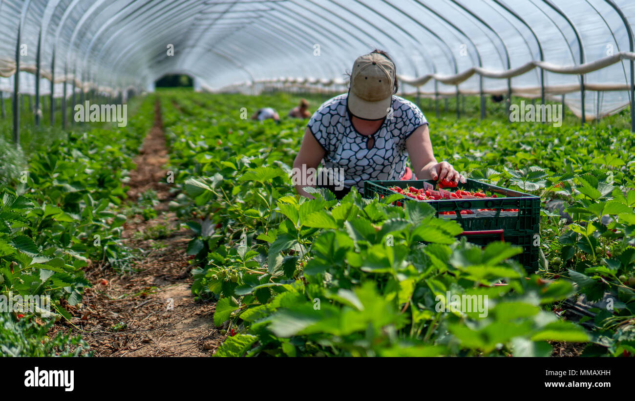 Woman picks strawberries in the greenhouse with harvest. Berry season - Stock Image