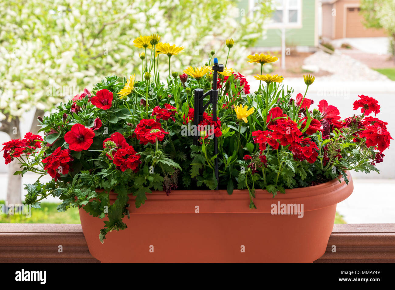 Red geraniums; Red Petunia; Empress Flair Red Verbena; yellow Osteospermum & Cape Daisy's in planter - Stock Image