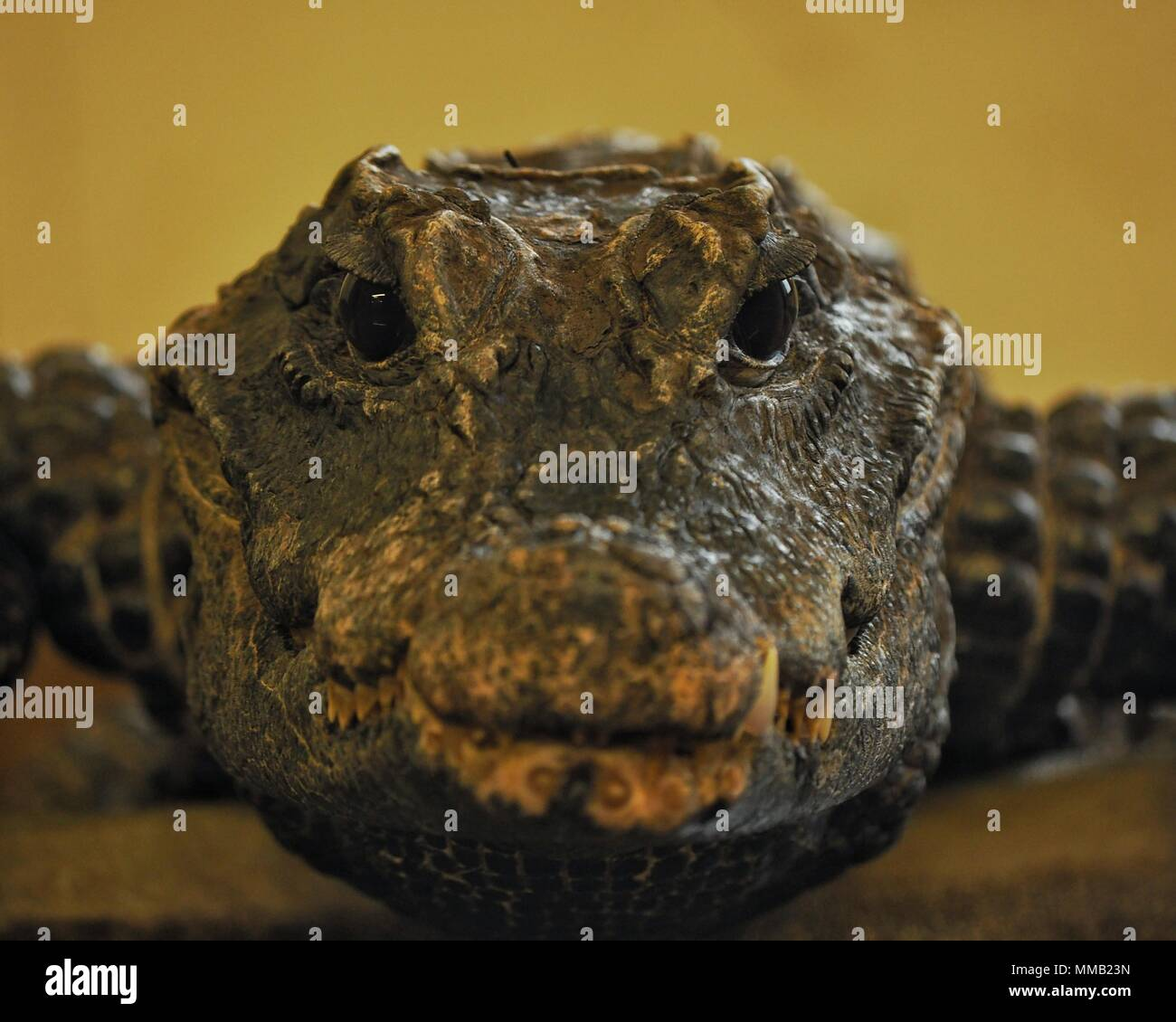 Caiman Scales Stock Photos & Caiman Scales Stock Images - Alamy