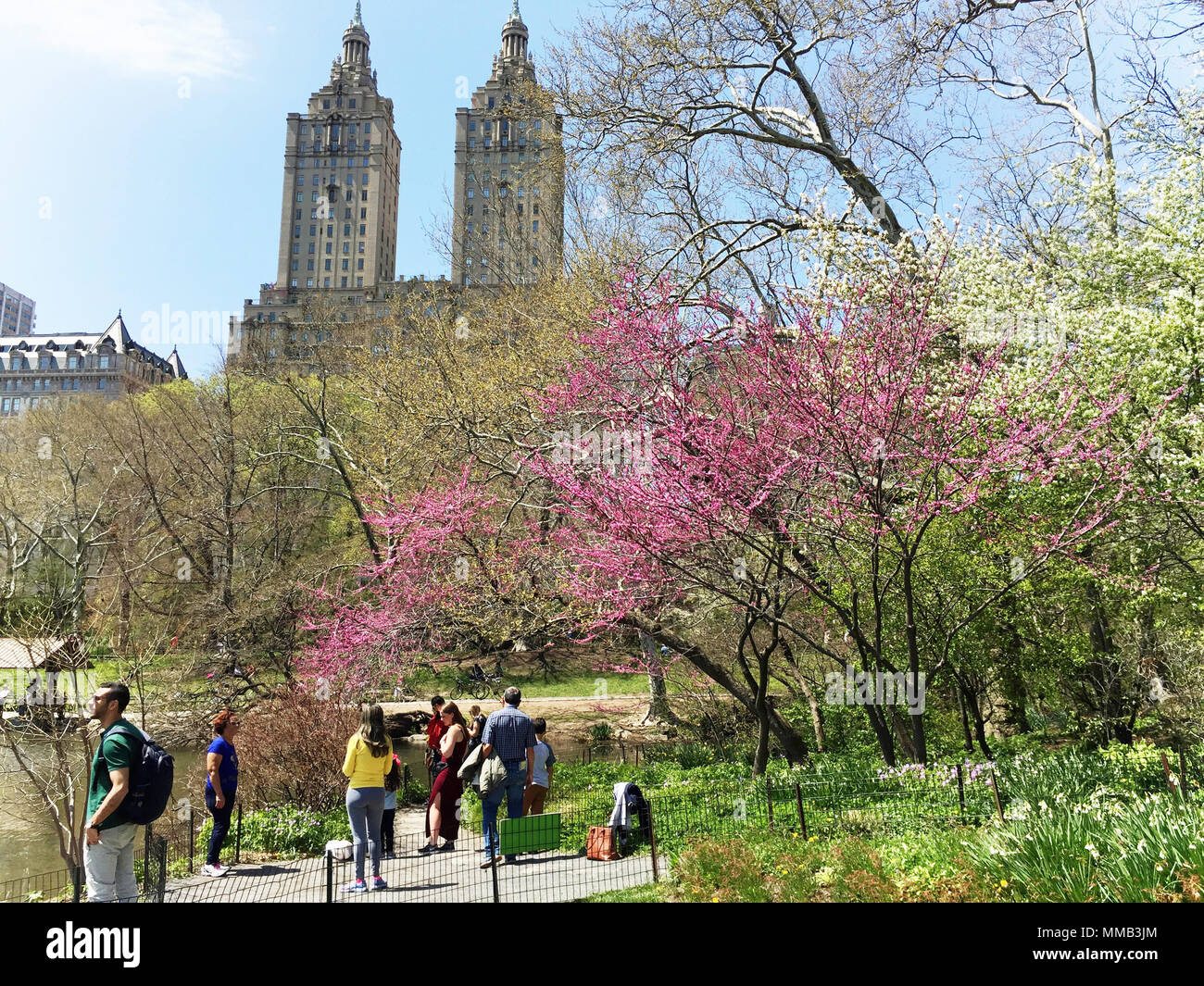 Blooming springtime trees on Hernshead promontory in central park attract tourists, NYC, USA - Stock Image