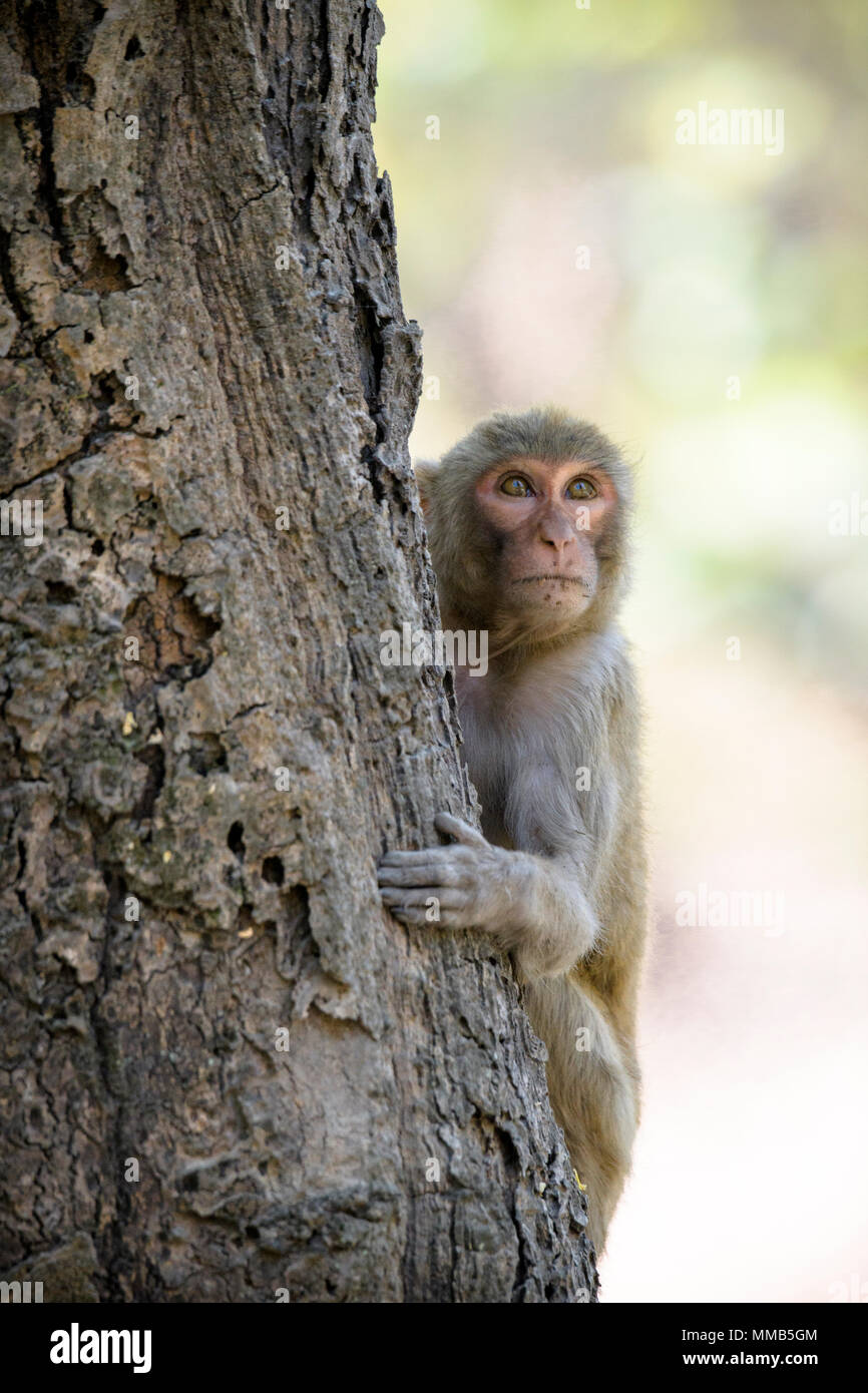 Adult wild Rhesus macaque, Macaca mulatta, climbing a tree, Bandhavgarh National Park, Madhya Pradesh, India Stock Photo
