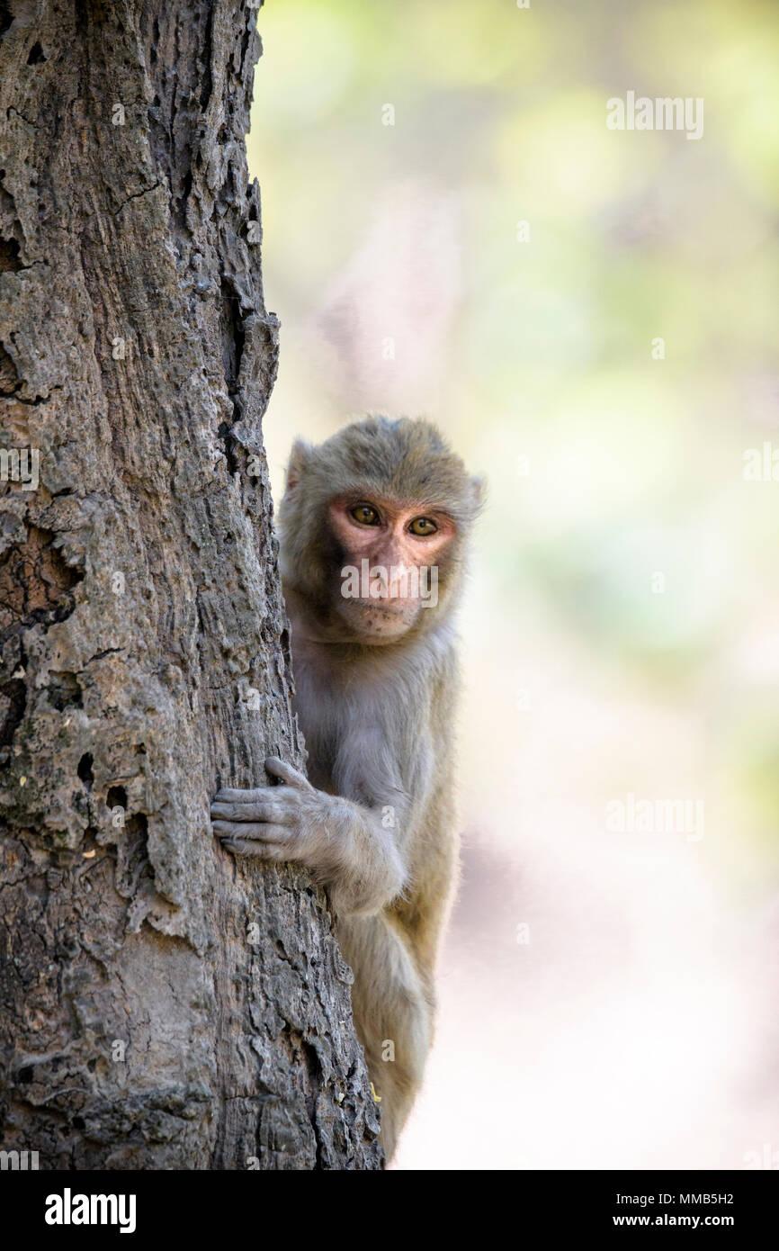 Adult wild Rhesus macaque, Macaca mulatta, climbing a tree, Bandhavgarh National Park, Madhya Pradesh, India Stock Photo