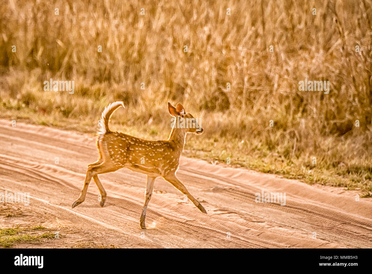 Young wild Chital or Spotted Deer fawn, Axis axis, running, jumping, in Bandhavgarh National Park, Madhya Pradesh, India - Stock Image