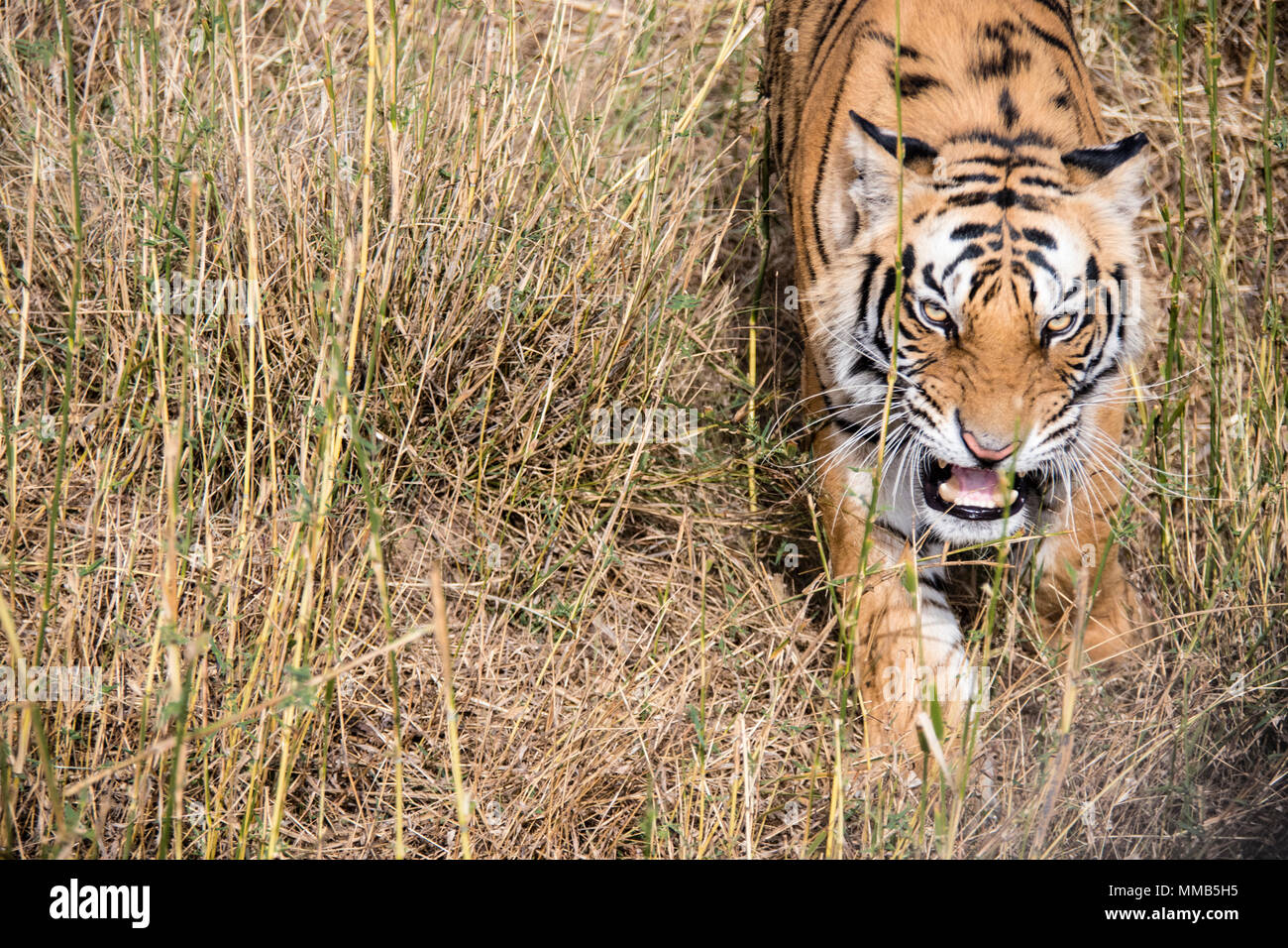 Wild Bengal Tiger, Panthera tigris tigris, snarling, Bandhavgarh Tiger Reserve, India Stock Photo