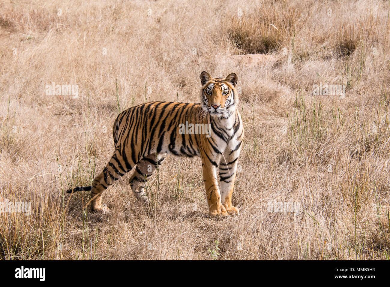Two year old Bengal Tiger cub, Panthera tigris tigris, standing in dry grass Bandhavgarh Tiger Reserve, Madhya Pradesh, India - Stock Image