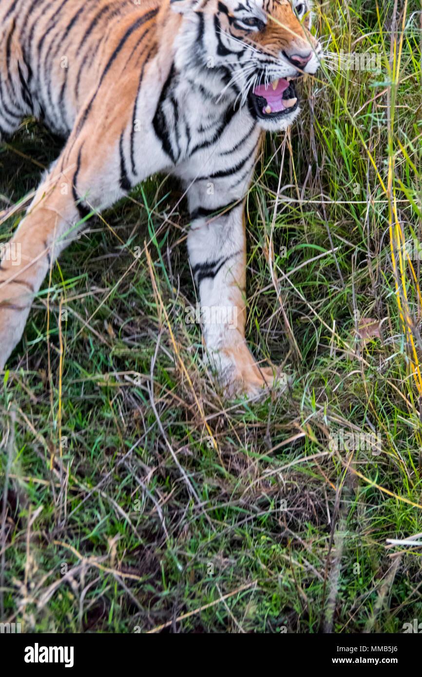 Wild Bengal Tiger, Panthera tigris tigris, snarling, Bandhavgarh Tiger Reserve, India Stock Photo