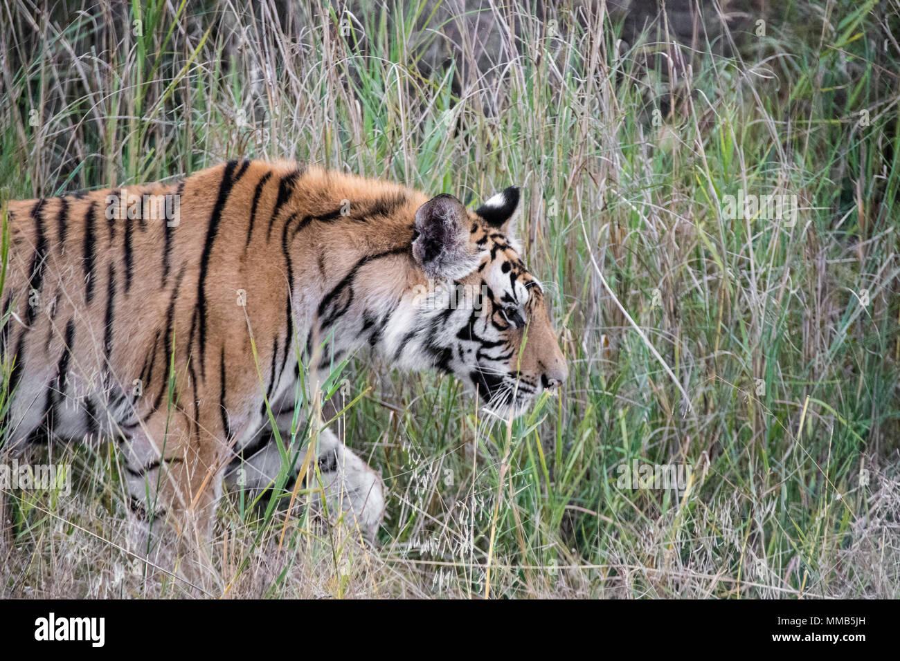 Two year old male Bengal Tiger, Panthera tigris tigris,side view, walking in the Bandhavgarh Tiger Reserve, Madhya Pradesh, India - Stock Image