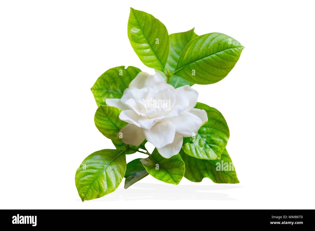 Cape Jasmine Or Gardenia Jasminoides Asia Tropical White Flower