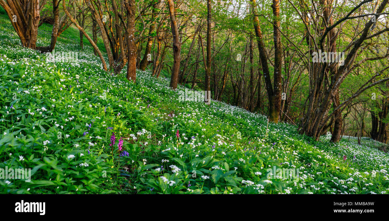 wild garlic woodland - Stock Image