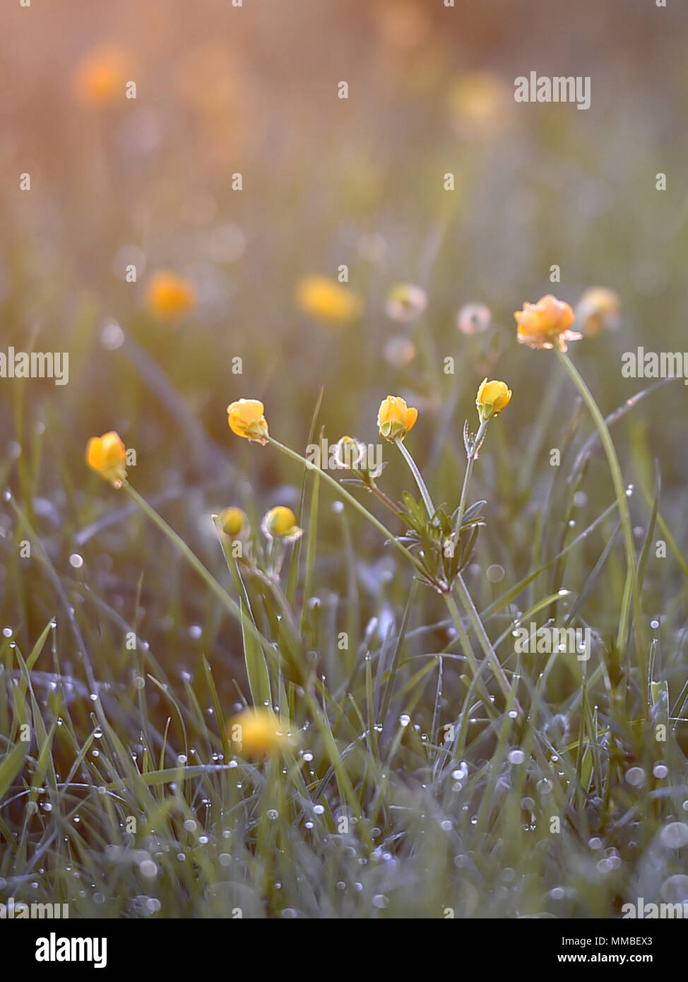 The sun rises over the Wiltshire village of Edington. Dew drops settles on the buttercups and grasses in the early morning spring sunshine. Stock Photo