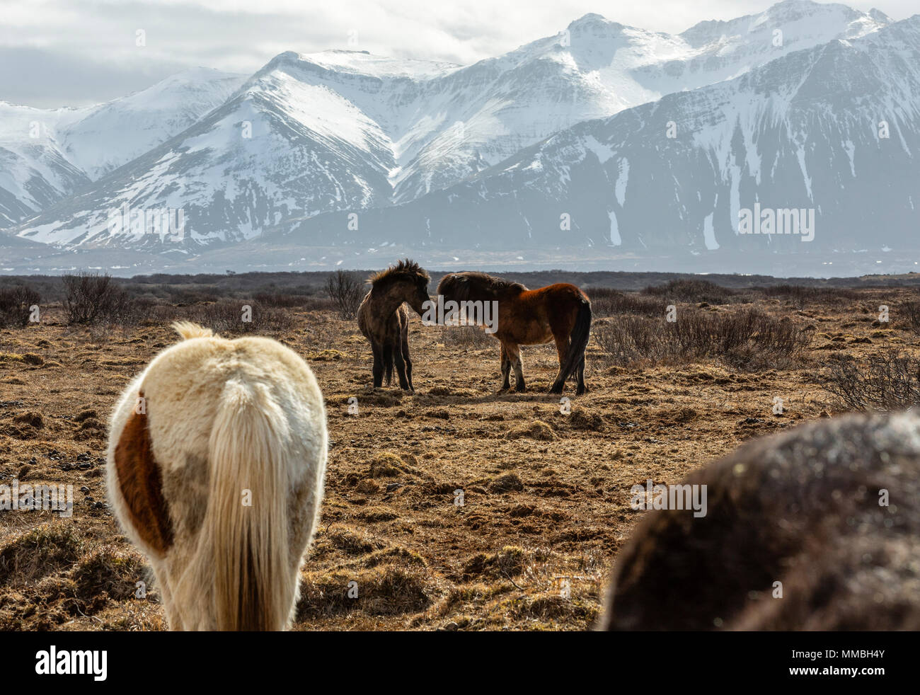 Iceland horses in love - Stock Image