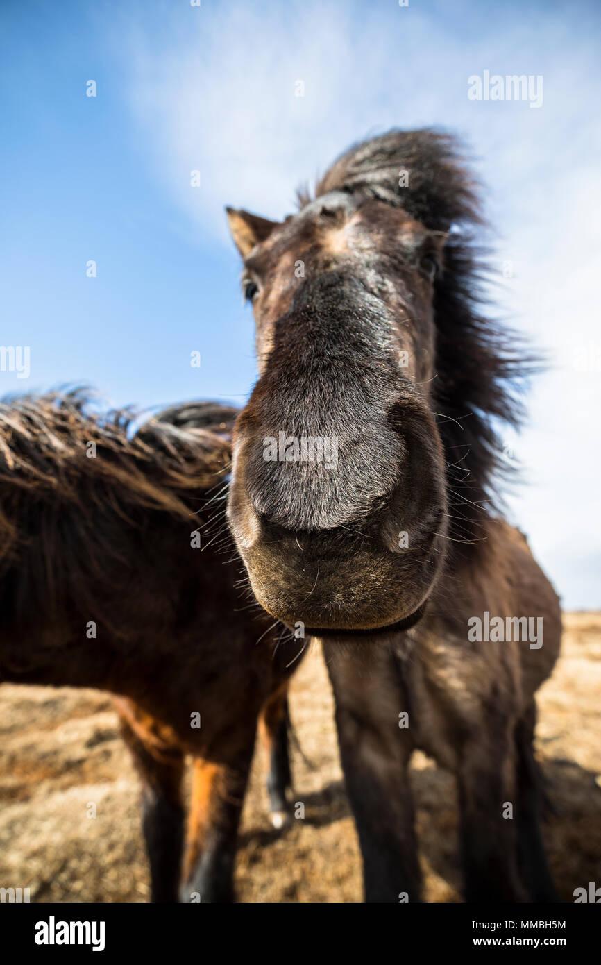 Iceladic horse head close up - Stock Image