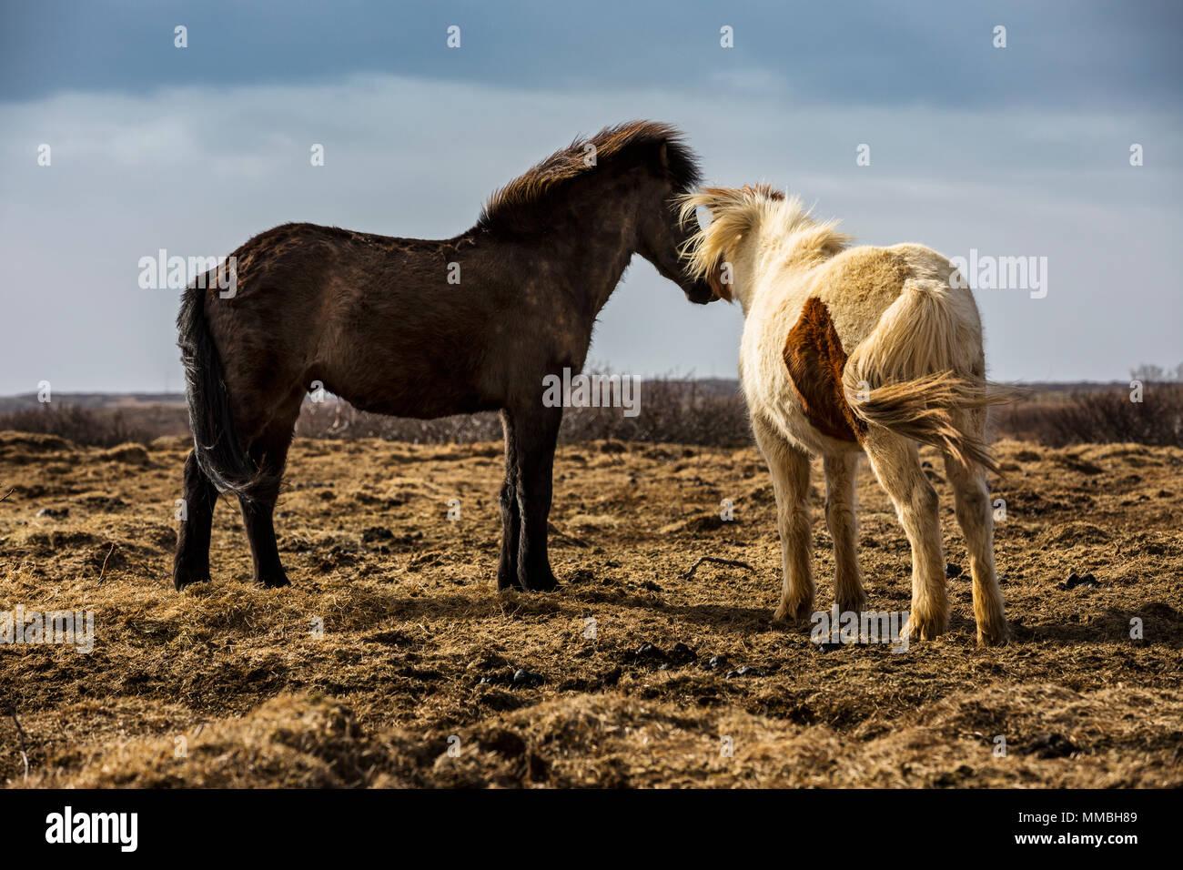 Two Icelandic horses - Stock Image