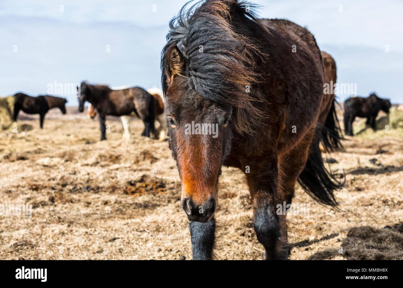 Icelandic horses in the wild - Stock Image