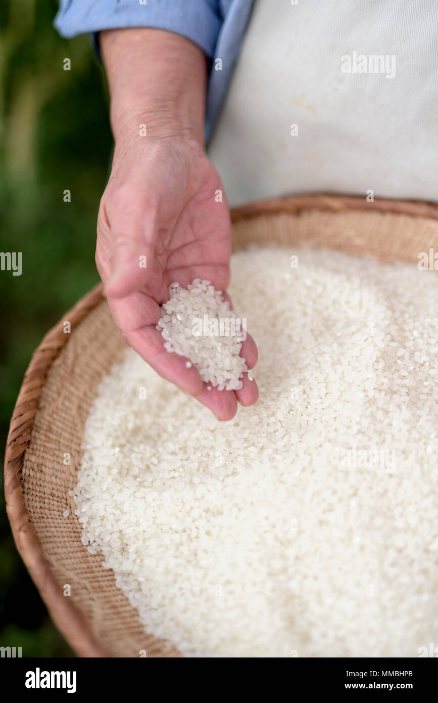 High angle close up of human hand holding bowl with freshly harvested rice grains. - Stock Image