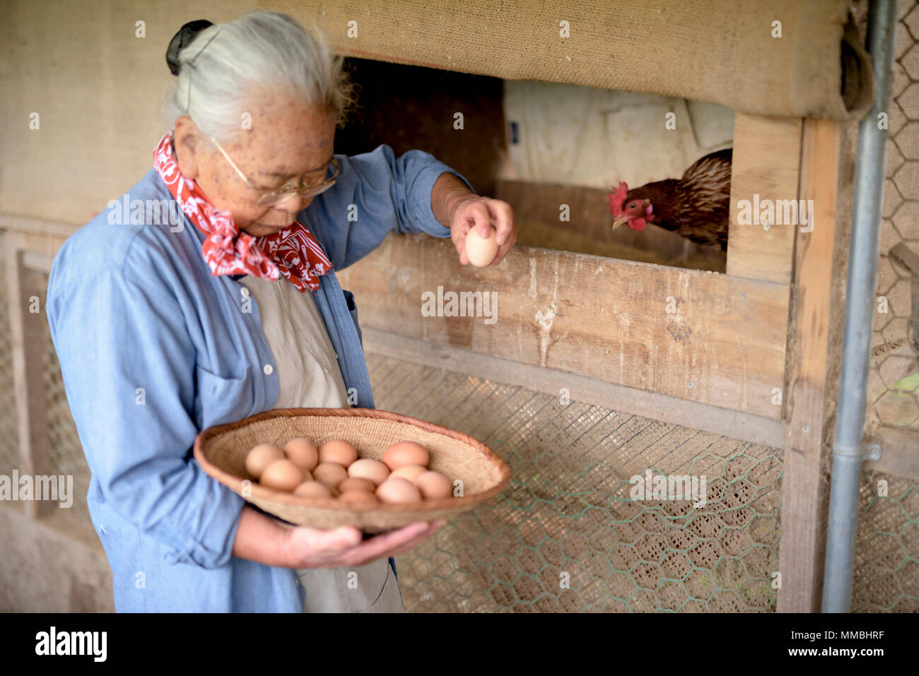Elderly woman with grey hair standing in a chicken house, holding basket, collecting fresh eggs. - Stock Image
