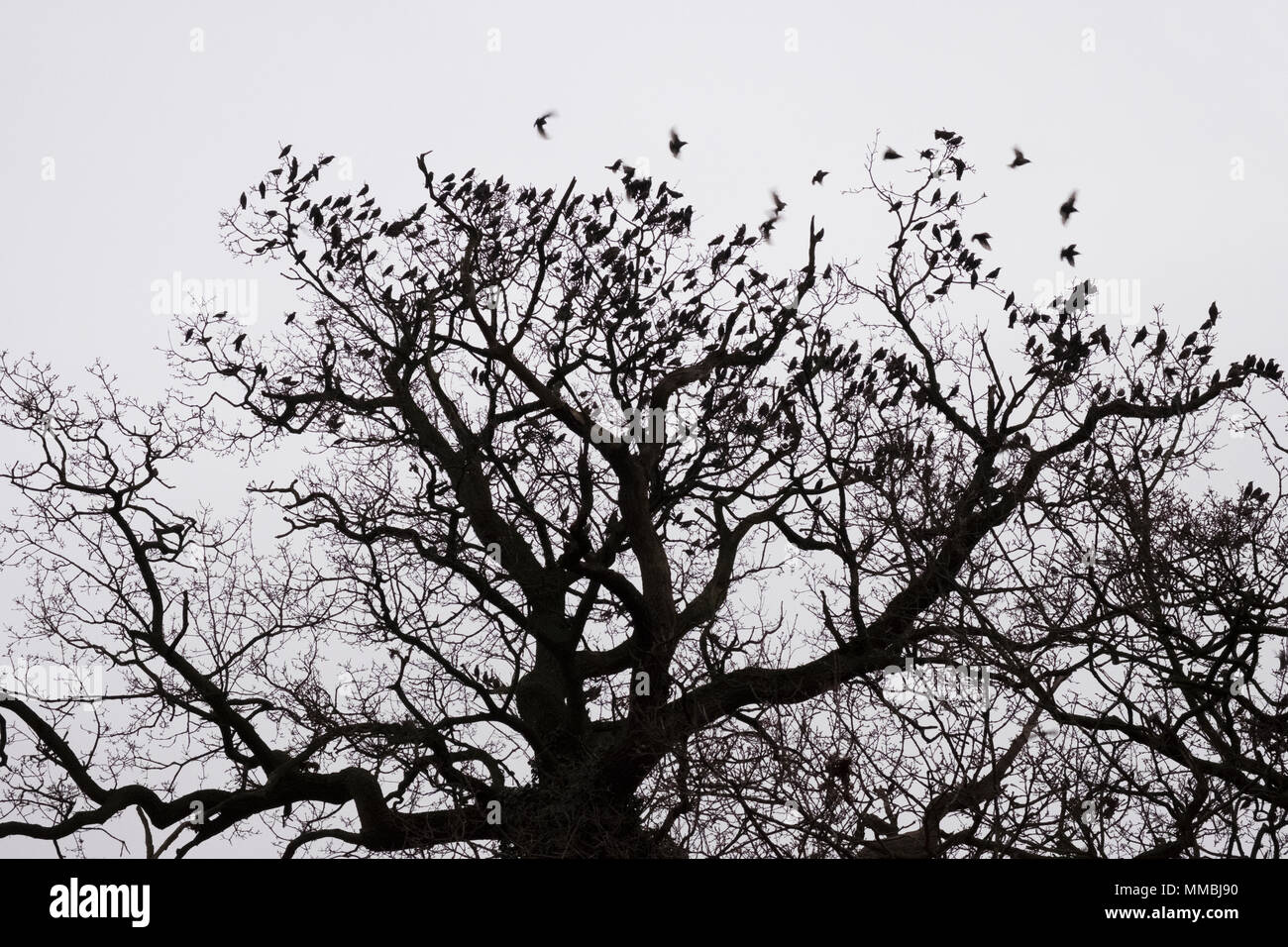 A winter garden, crown of a tree against a grey sky with birds flying past. - Stock Image