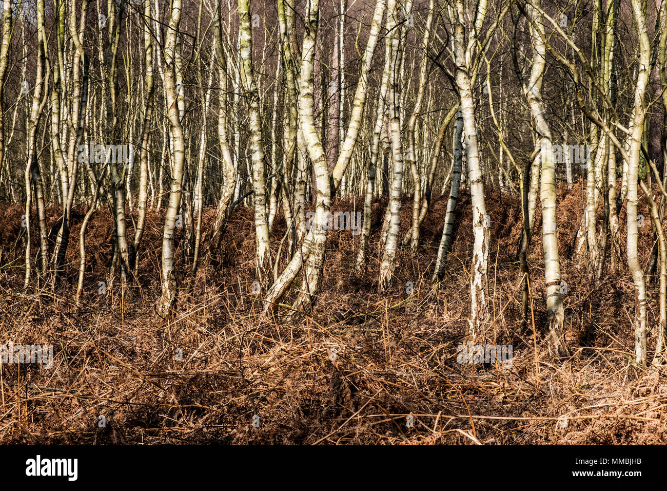 Thicket of birch trees in winter, with pale twisted and straight stems. - Stock Image