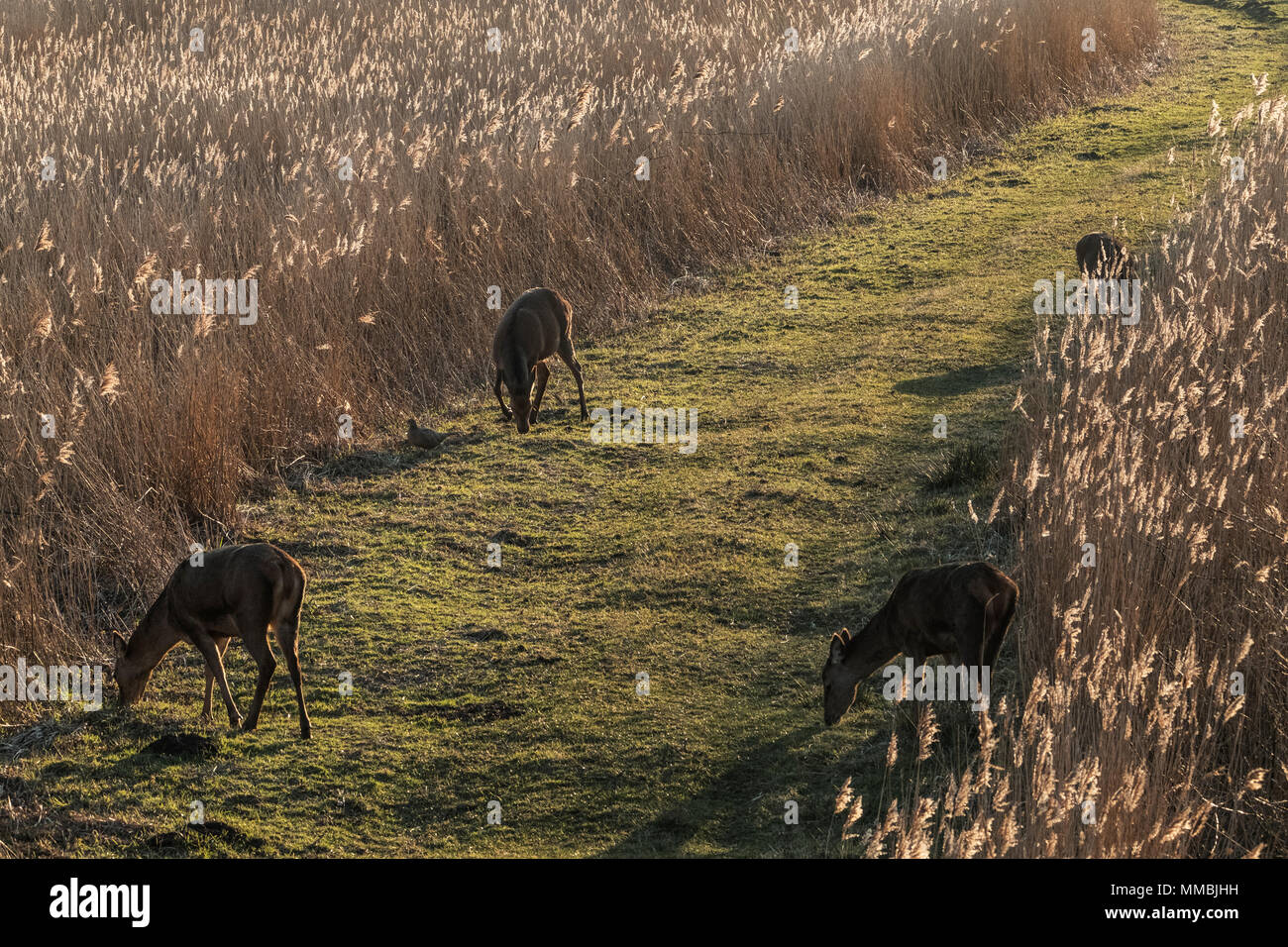 High angle view of deer grazing along a narrow grass trail lined by tall reeds. - Stock Image