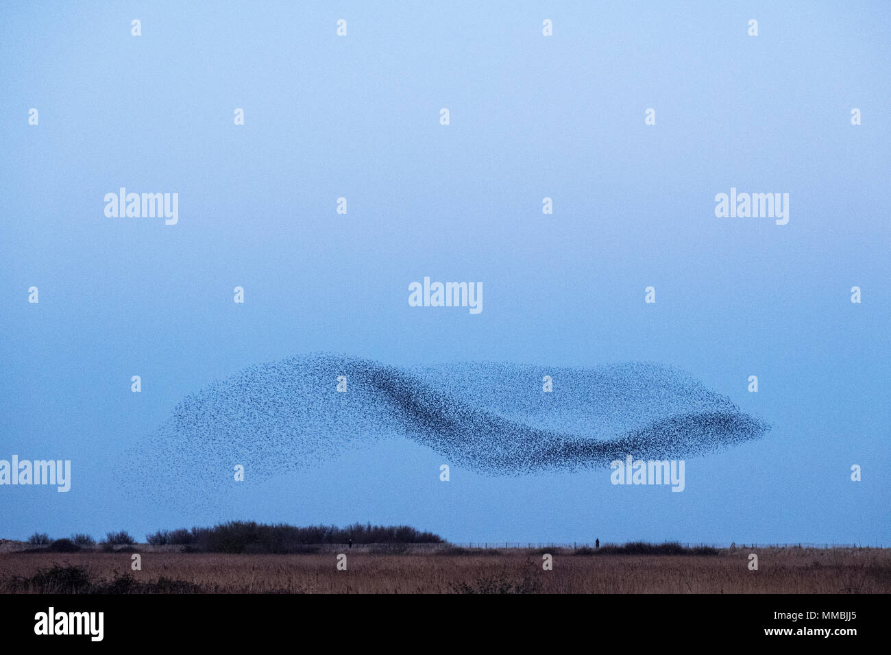 Spectacular murmuration of starlings, a swooping mass of thousands of birds in the sky. - Stock Image