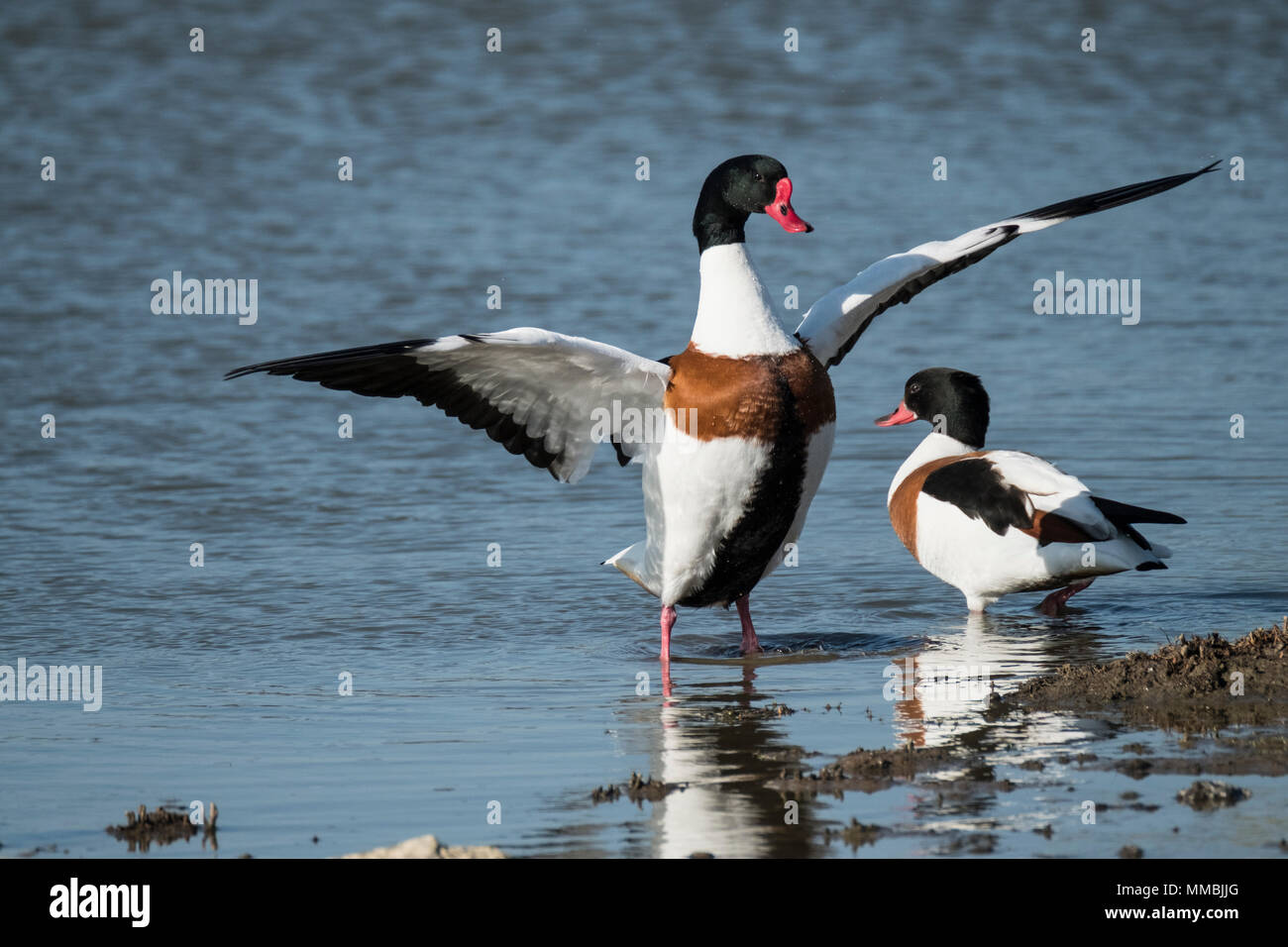 Close up of two Red Billed Ducks in a river, one spreading it's wings. - Stock Image