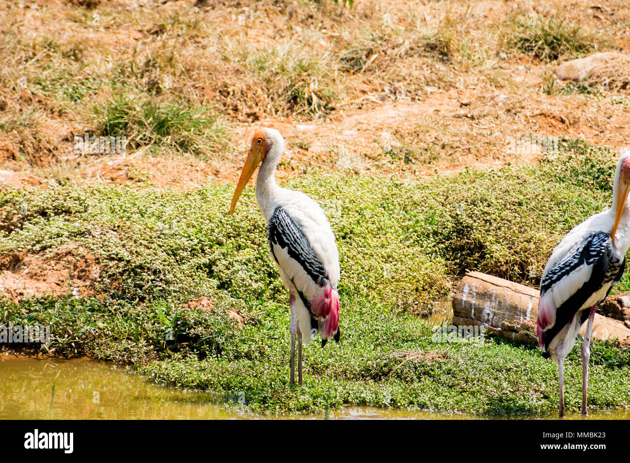 """""""Awesome close view of painted storks birds standing near small pond &  itching feather at rest time."""" Stock Photo"""
