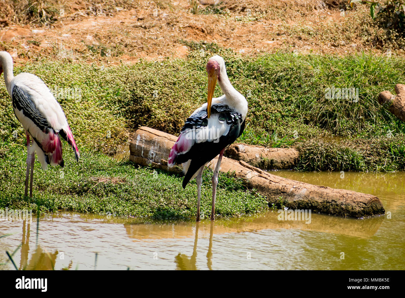 """Awesome close view of painted storks birds standing near small pond &  itching feather at rest time."" Stock Photo"