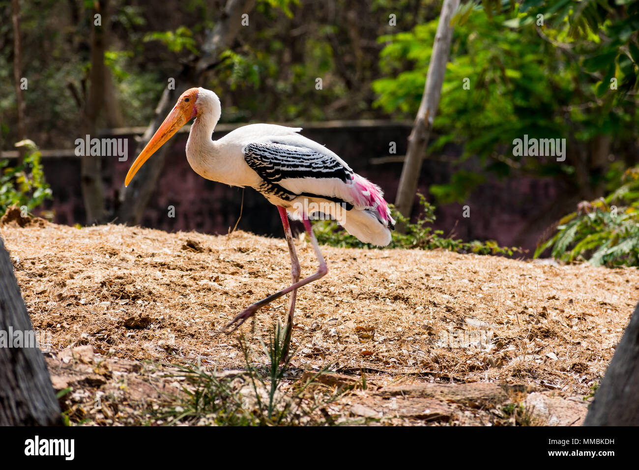 a white painted storks bird walking on zoo close view looking awesome. Stock Photo