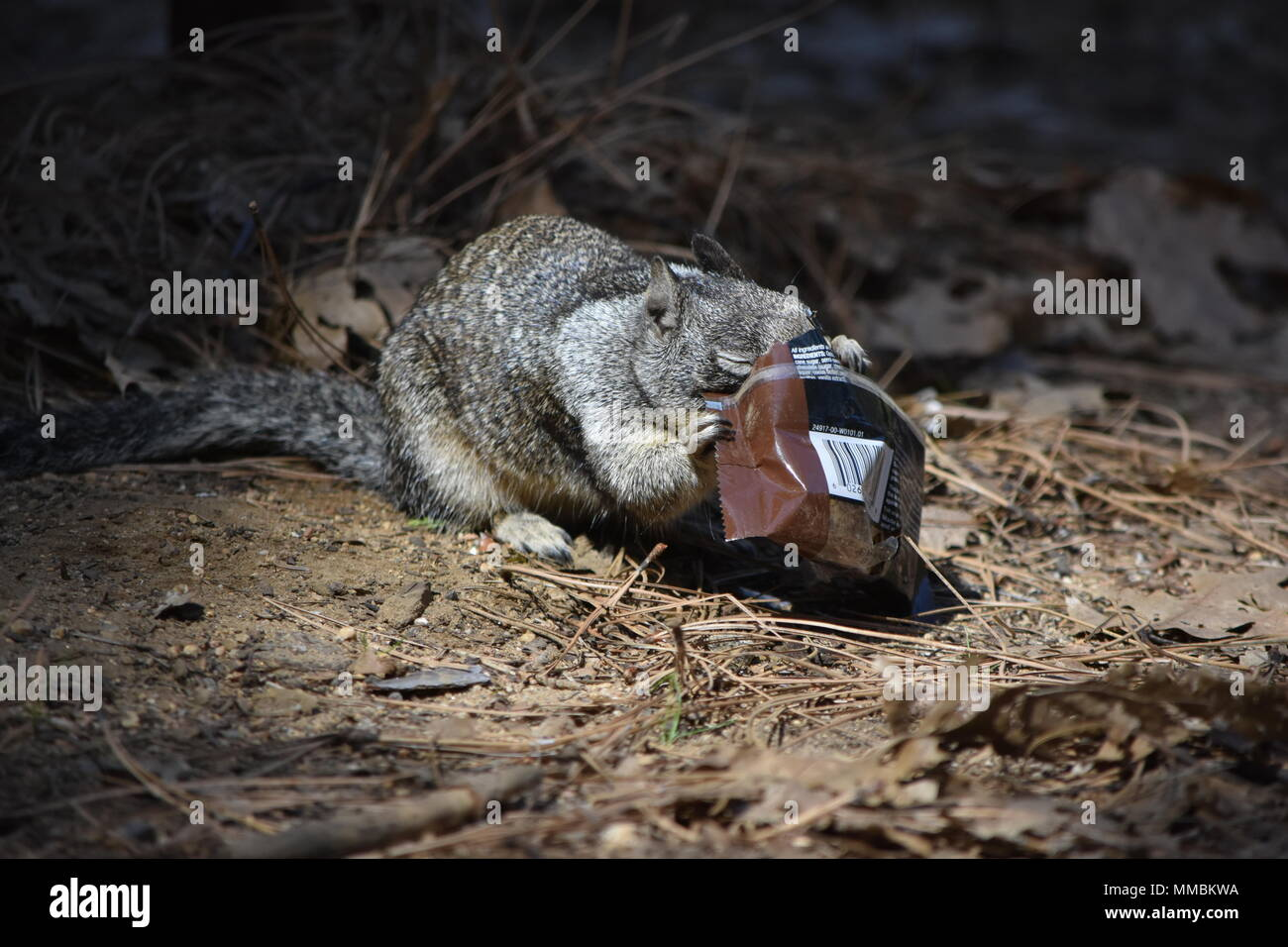A California Ground Squirrel feasting on a stolen Kind Bar in Lower Pines Campground, Yosemite Valley, CA. - Stock Image