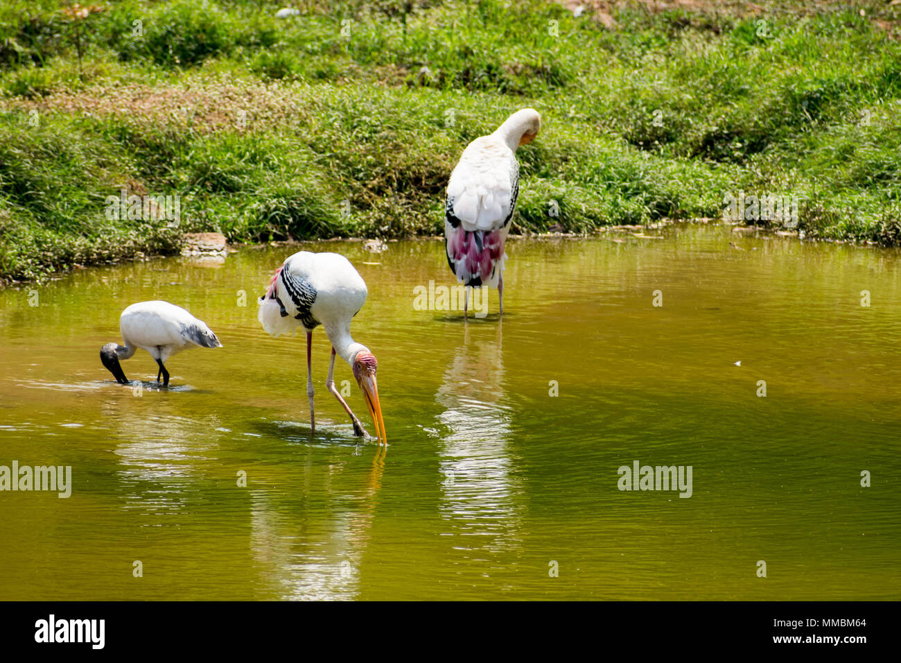 A lot of painted storks searching fish on water at zoo close view. Stock Photo