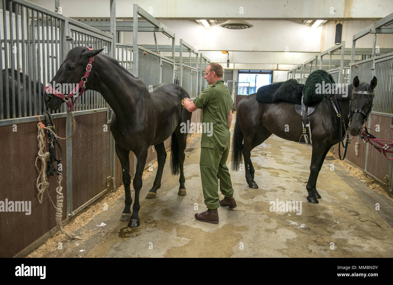 London, UK. Behind-the-scenes 'Day in the Life' of the Household Cavalry Mounted Regiment'. Work in The Stables line cleaning the Cavalry horses. - Stock Image