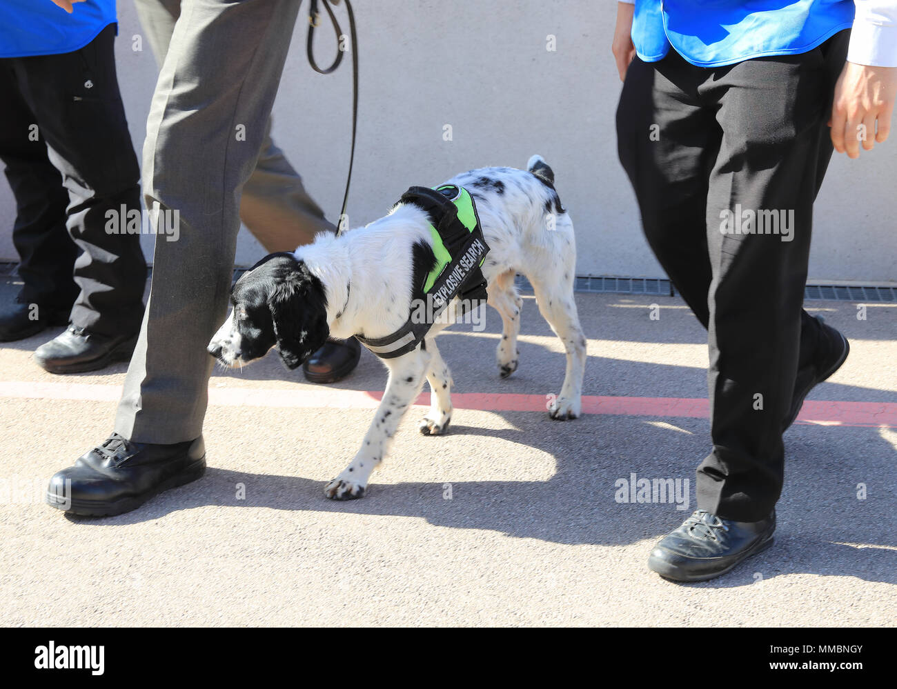 Explosive sniffer dog, with it's handler at Wembley Stadium, in NW London, UK - Stock Image